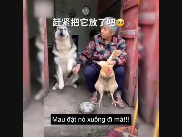 Chú chó không muốn sát sinh, chỉ thèm thịt... chín
