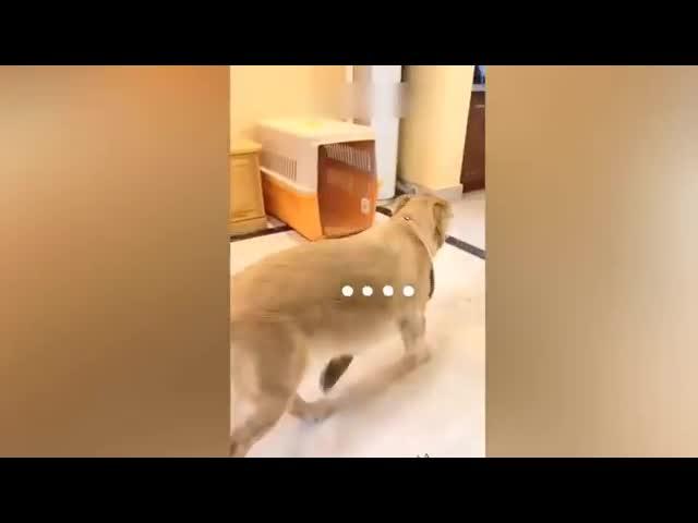 Phản ứng vui nhộn của những chú chó khi chủ cắt bánh hình cún